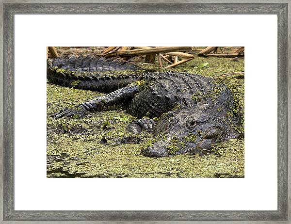 American Alligator Smile Framed Print