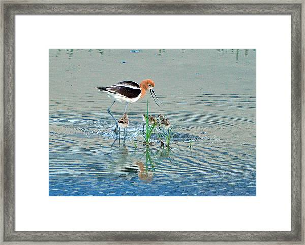 American Avocet With Young Framed Print