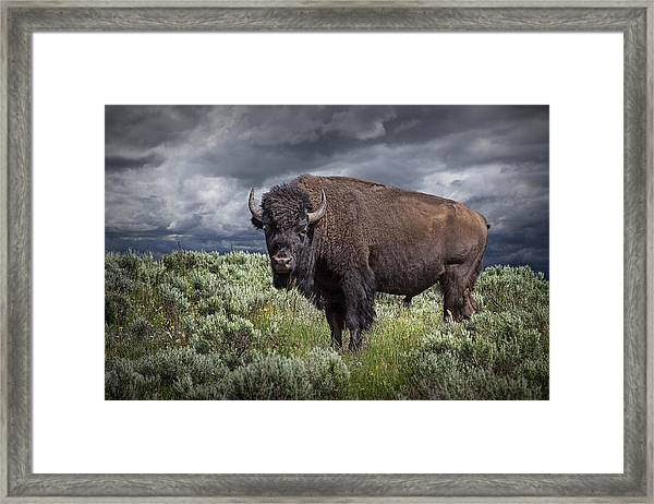 American Buffalo Or Bison In Yellowstone Framed Print