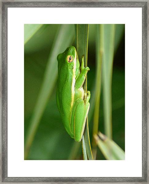 American Green Tree Frog Framed Print