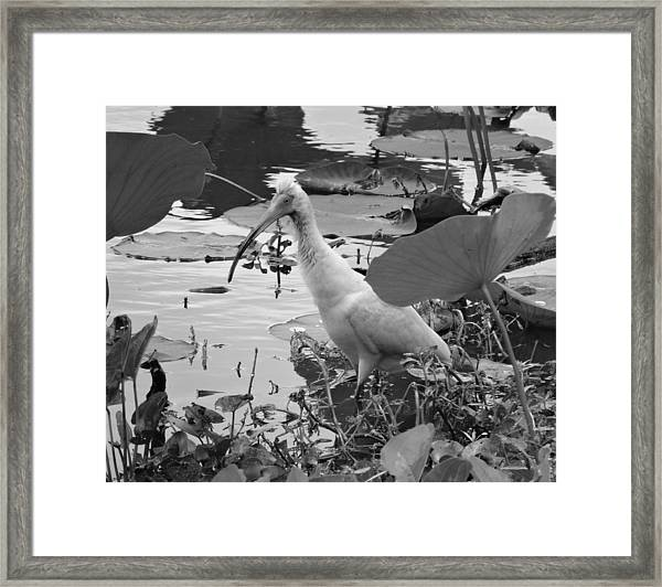 American White Ibis Black And White Framed Print