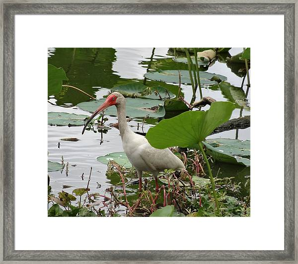 American White Ibis In Brazos Bend Framed Print