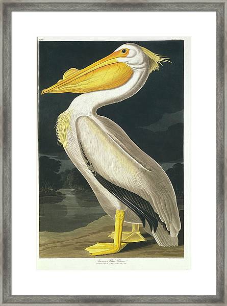 American White Pelican Framed Print by Natural History Museum, London/science Photo Library