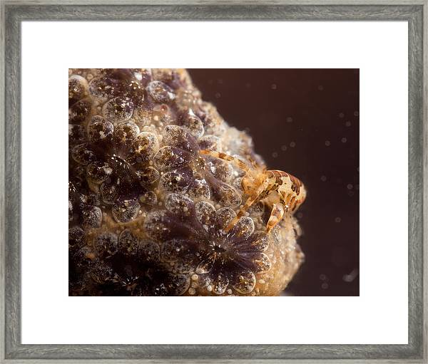 Amphipod On Botryllus Framed Print by Brian Magnier