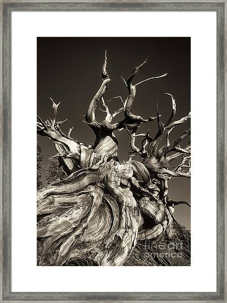 Ancient Bristlecone Pine In Black And White Framed Print