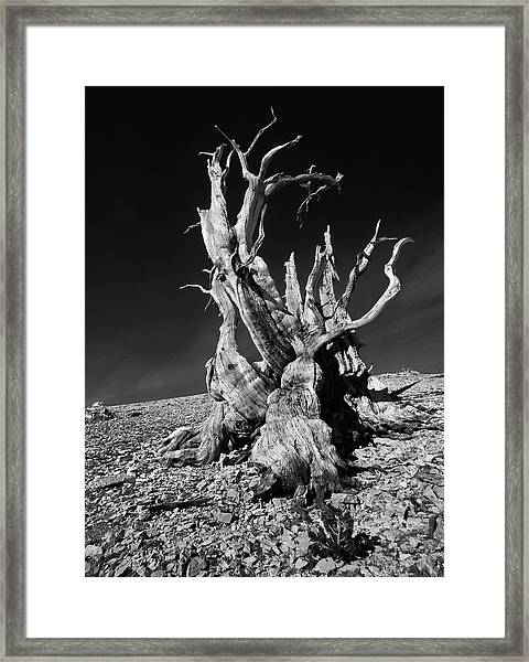Ancient Bristlecone Pine Tree Clings Framed Print