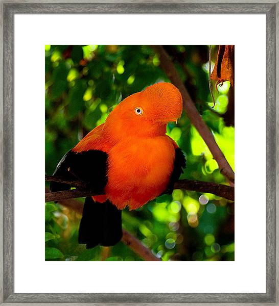 Andean Cock Of The Rock Framed Print