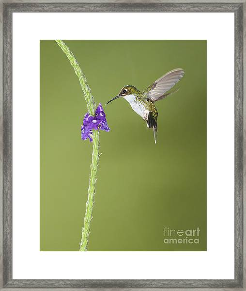 Andean Emerald Hummingbird Framed Print
