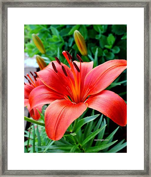 Andrea's Lily Framed Print