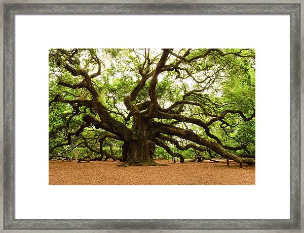 Angel Oak Tree 2009 Framed Print