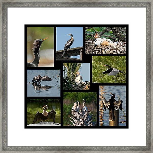 Anhinga Collage Framed Print