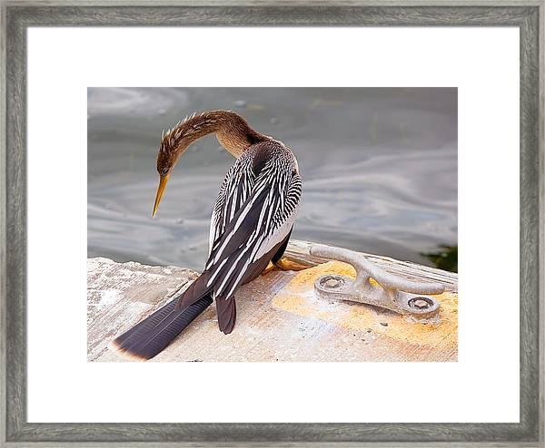 American Anhinga Framed Print