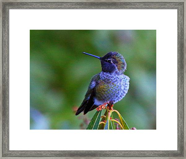 Framed Print featuring the photograph Annas Hummingbird by Randy Hall