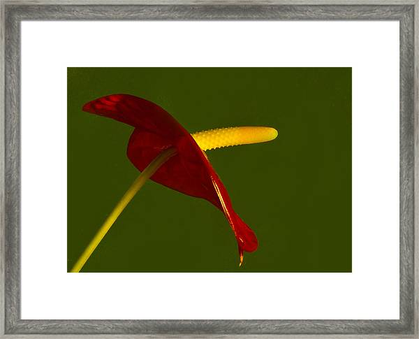 Anthurium Framed Print