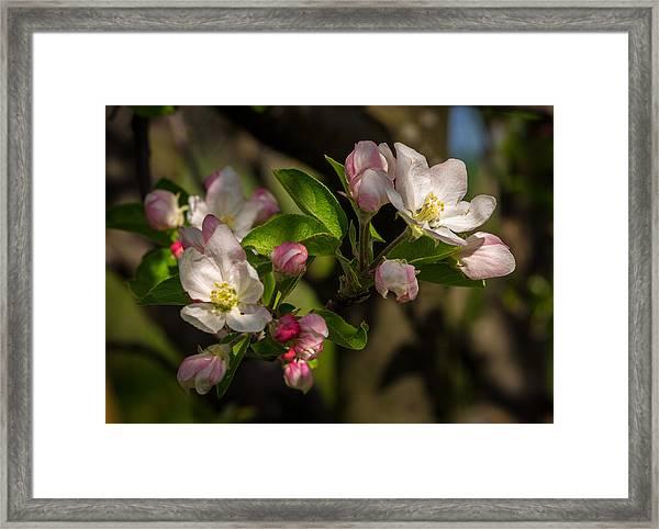Apple Blossom 3 Framed Print by Carl Engman