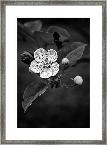 Apple Blossom On The Farm Framed Print