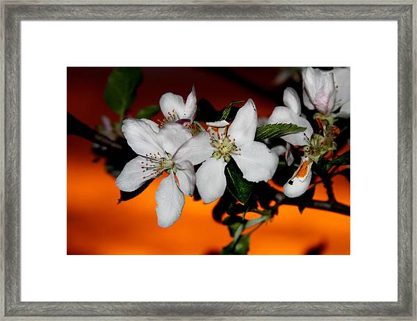 Apple Blossom Sunrise I Framed Print