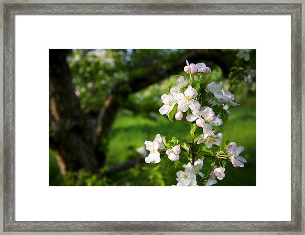 Apple Blossoms In The Orchard Framed Print