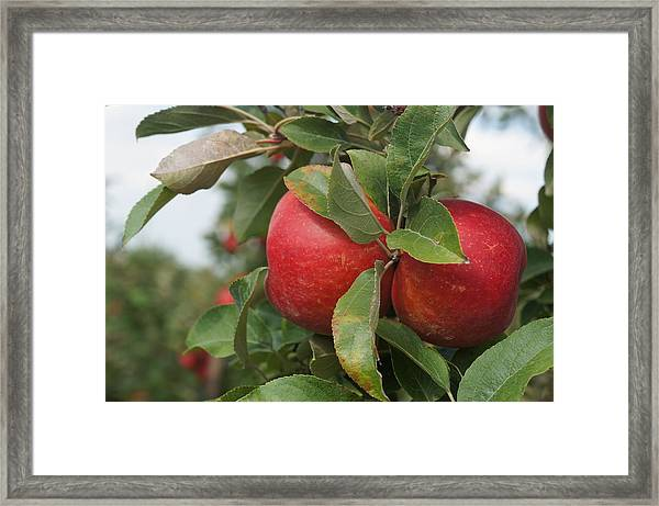 Apples On The Branch Framed Print