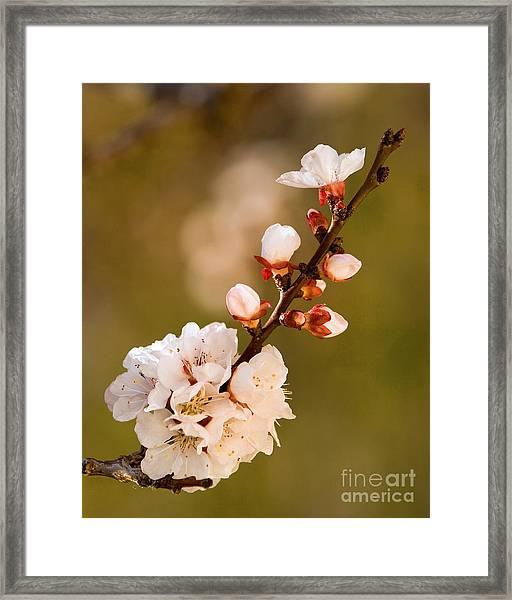 Apricot Blossom At Sunrise Framed Print