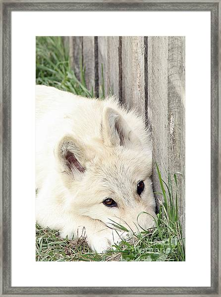 Arctic Wolf Framed Print by Kathy Eastmond