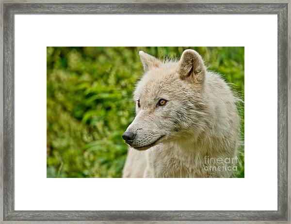 Arctic Wolf Pictures 241 Framed Print