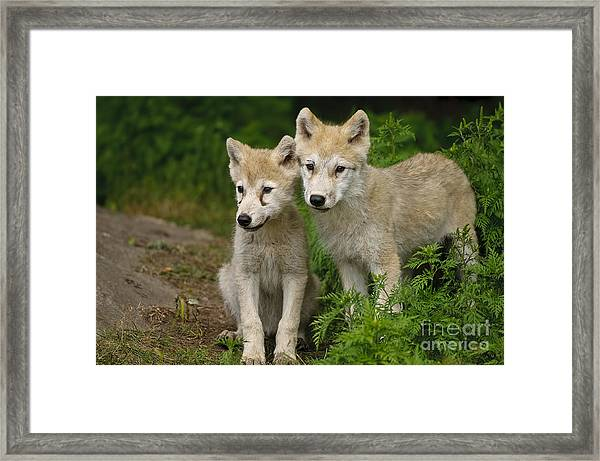 Arctic Wolf Puppies Framed Print