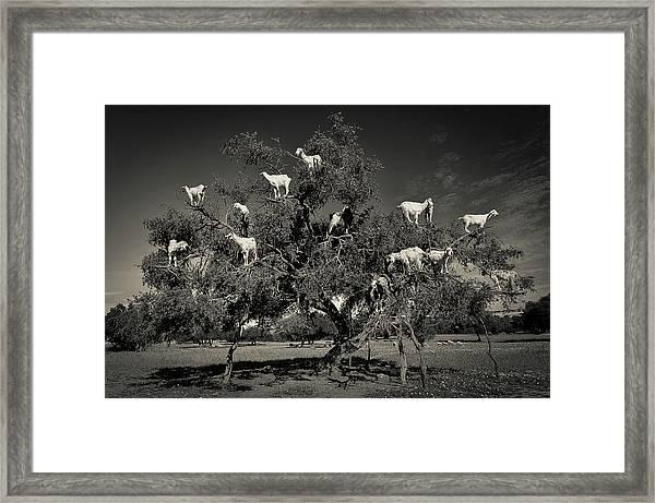 Argan Loving Goats Framed Print by Dario Puebla