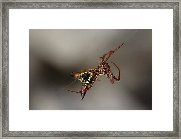 Arrow-shaped Micrathena Spider Starting A Web Framed Print