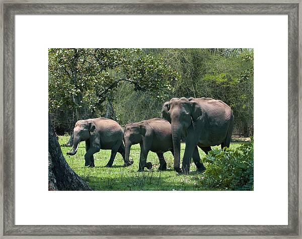 Asian Elephant Group Framed Print