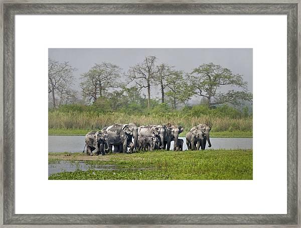Asian Elephants Elephas Maximus Framed Print