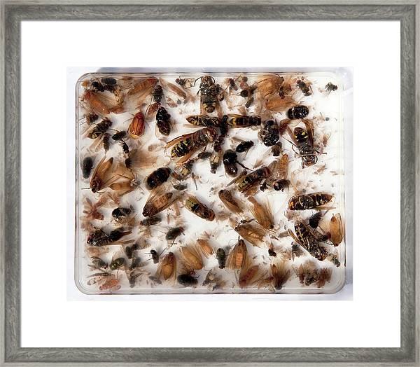 Asian Hornet Research Framed Print