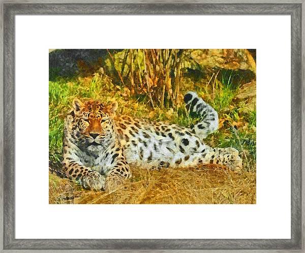 Asian Snow Leopard Framed Print