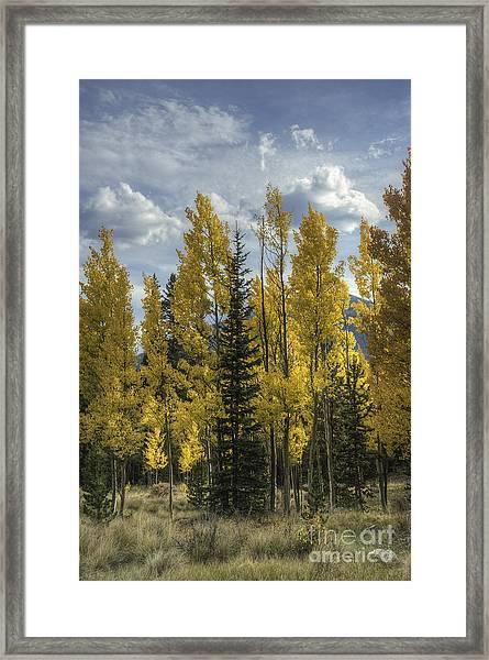 Aspen And Evergreen Framed Print