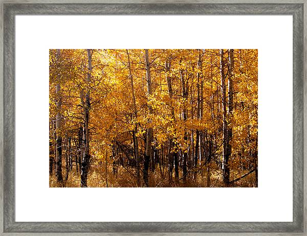 Framed Print featuring the photograph Aspen Grove Tahoe City by William Havle
