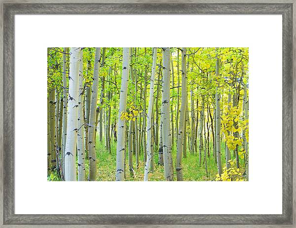 Aspen Tree Forest Autumn Time  Framed Print