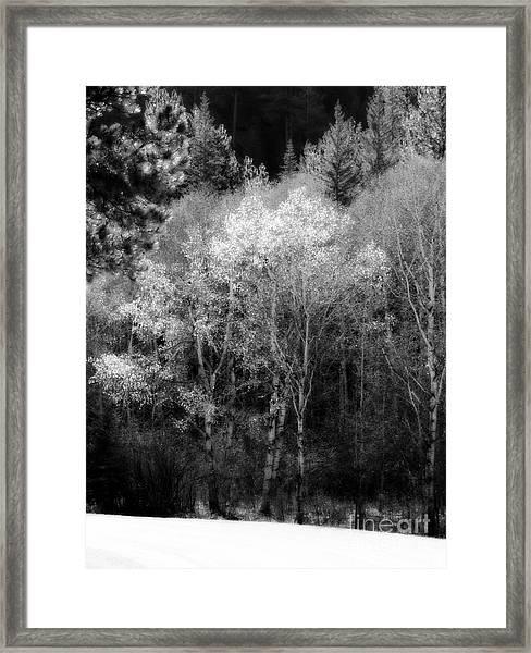Aspens In Morning Light Bw Framed Print