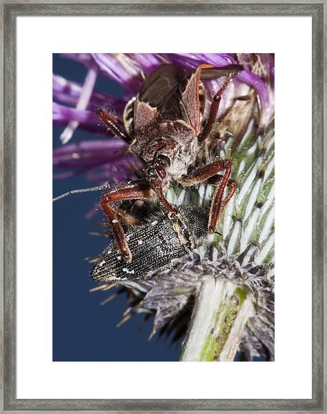 Assassin Bug Preying On Beetle Framed Print