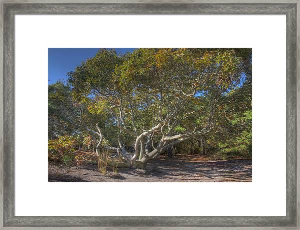 Asseteague Island Oak Framed Print