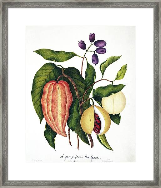 Assorted Edible Indian Plants Framed Print by Natural History Museum, London/science Photo Library