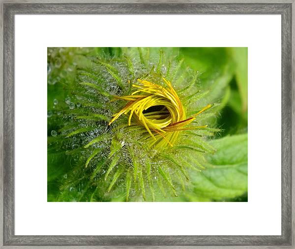 Asteraceas Unfolding Framed Print