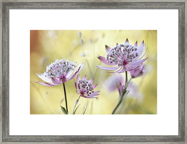 Astrantia Major Framed Print