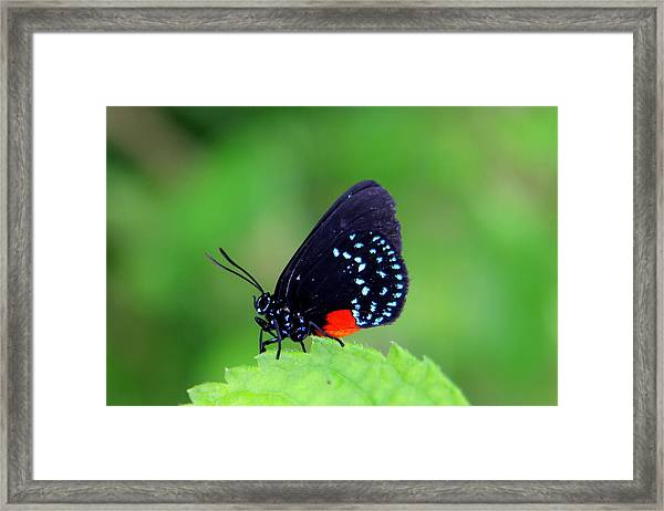 Atala Butterfly Framed Print