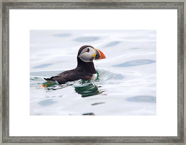 Atlantic Puffin. Framed Print