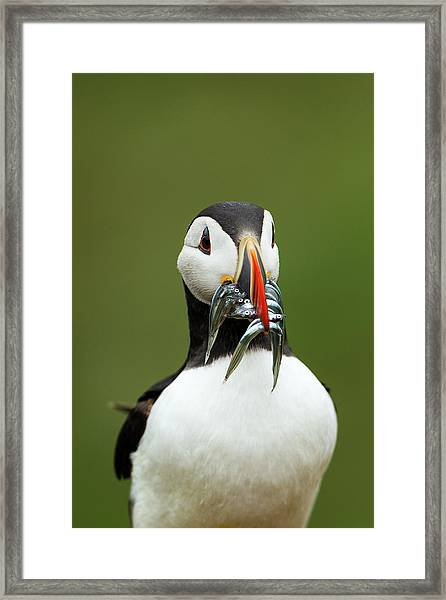 Atlantic Puffin With Sand Eels Framed Print