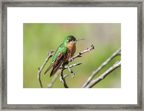 Atlantic Rainforest Hummingbird Framed Print