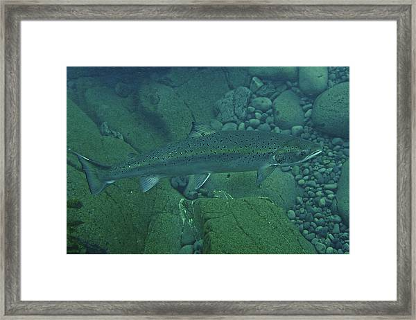 Atlantic Salmon In Hafralonsriver Framed Print