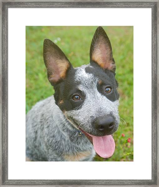 Australian Cattle Dog Framed Print
