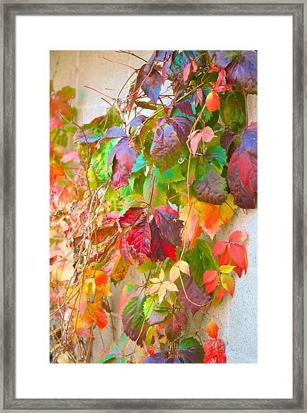 Autumn Colors Of Virginia Creeper Framed Print