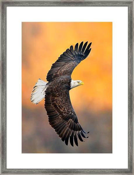 Framed Print featuring the photograph Autumn Eagle by William Jobes